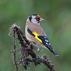 goldfinch (DODO 1959) Tags: wildlife goldfinch outdoor avian birds fauna finch animal nature thistles canon 100400mmmk2 7dmk2 carmarthenshire wales wwt llanelli