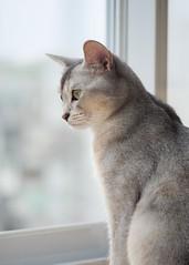 20190624_09_LR (enno7898) Tags: panasonic lumix lumixg9 dcg9 xvario vario 35100mm f28 cat pet animal abyssinian