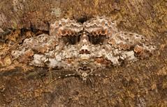 Geometrid Moth (Cleora sp., Ennominae, Geometridae) (John Horstman (itchydogimages, SINOBUG)) Tags: insect macro china yunnan itchydogimages sinobug entomology canon moth lepidoptera crypsis camouflage ennominae geometridae fbipm