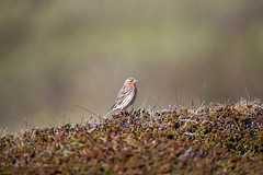 Red-throated Pipit Finmark Norway_w_9627.jpg-9673 (Daly Wildlife) Tags: redthroatedpipit anthuscervinus norway breedingplumage springtime scandinavia migrant