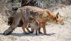 Taking shelter!? (Jambo53 ()) Tags: crobertkok redfox rodevos netherlands roofdier predator coastalarea duingebied naturereserve nikond800 vulpesvulpes renardroux vixen cub young jonkie