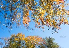 riverwood autumm (Brian D. Tucker) Tags: 2019 autumn briandtucker d500 fall october october2019 riverwood midafternoonlight blue bluesky fallcolours peaceful