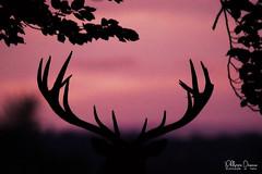 cerf-0151 (Philippe Druesne) Tags: cervuselaphus cerfélaphe reddeer stag rut brame animal mammifére mamal mammifère cervus elaphus cerf élaphe red deer