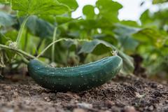 Close-up of a cucumber on the dirt (Ivan Radic) Tags: agrarwirtschaft closeup garden garten gurke landwirtschaft agribusiness agriculture countryside cucumber farmbauernhof farming growing wachsen wächst canoneosm50 sigma2470mmf28dgoshsmart