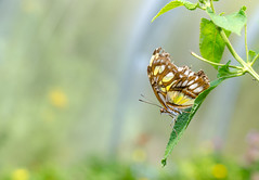 Malachite Butterfly (EmptySpacesStudios) Tags: butterfly insect bug macro flutter malachite fly flying