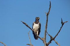 Martial Eagle (Rckr88) Tags: krugernationalpark southafrica kruger national park south africa martial eagle martialeagle eagles martialeagles bird birds trees tree naturalworld nature outdoors wilderness wildlife