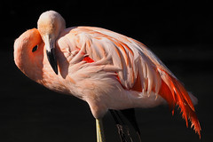Pink (MSGS4) Tags: fotawildlifepark animals outdoors olympus pansonic lumix 100400mm em1 pink flamingo