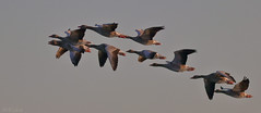 Greylag geese over Chiemsee (Kike K.) Tags: bird animal beak feathers dragonfly insect color bokeh canon amateur 80d nature natural walk hiking river water sun light sunlight daylight tail may heat humidity pond branch fly flight flying meal telephoto crop gimp gmic artistic 400mm june 2019 park grass green italy horse egret goose swan swamp heron geese lake september bavaria germany fall autumn