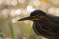 ''Sous les projecteurs!''Héron vert-Green héron (pascaleforest) Tags: canada quebec faune wildlife wild nature nikon passion animal bird oiseau