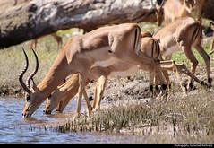 Springboks, Chobe NP, Botswana (JH_1982) Tags: springbok springboks antidorcas marsupialis 跳羚 スプリングボック 스프링복 спрингбок animal animals wildlife nature tier tiere drinking waterhole river natur chobe np national park nationalpark pn parque parc nacional 喬貝國家公園 チョベ国立公園 चोबे नेशनल पार्क botswana botsuana 波札那 ボツワナ 보츠와나 ботсвана