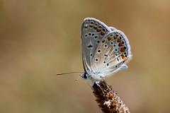 Argus bleu (Nature Box) Tags: img6738 butterfly papillon nature macro polyommatusicarus common blue lepidoptera lycaenidae