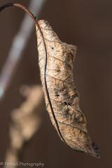 20191010-D500-D500191010020-Dead Leaf (Lindsay Pennell) Tags: d500 decay nikon old autumn brown dead garden leaf nature
