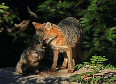 Gray Fox Female and Kit (thebanjobert) Tags: fox foxes grayfox foxkit foxpup