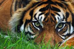 Eye spy.... (MSGS4) Tags: fotawildlifepark animals outdoors olympus pansonic lumix 100400mm em1 eyes eye look tiger grass