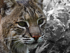 BOBCAT (eliewolfphotography) Tags: bigcats cats wildlife wildlifephotographer wildlifephotography nature naturelovers nikon naturephotography natgeo naturephotographer natgeowild bobcats animals conservation conservationphotography