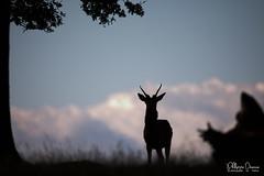 cerf-0155 (Philippe Druesne) Tags: cervuselaphus cerfélaphe reddeer stag rut brame animal mammifére mamal mammifère cervus elaphus cerf élaphe red deer
