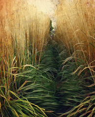 Tall Grass in Autumn (scilit) Tags: grass tallgrass autumn straw green gold river mud riverbank flora nature landscape closeup wavy painterly trail perspective vanishing texture whimsical macroworld netartii