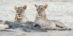 Kgalagadi National Park (Duma Overland) Tags: etosha national park south africa namibia jackal giraffe elephant wildebeest lion spitzkoppe wildlife natgeo overland explore adventure birding twitching zambia botswana kgalagadi eagle kalahari desert