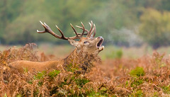 Ready for the Rut (ejwwest) Tags: royalparks reddeer rut mammals stags hamptoncourt wildlife bushypark surrey teddington england unitedkingdom
