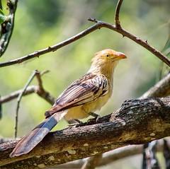 Anu Branco (Joel Junior Fotos) Tags: ave bird passaro natureza nature animal anu anubranco guira ngc