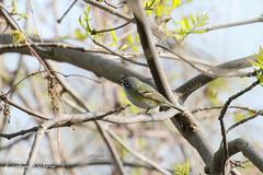 Blue-headed Vireo (Vireo solitarius) (KristenMartyn) Tags: songbird ohio birds warbler birding bird tourism travel ecotourism usa blueheadedvireo vireo vireosolitarius