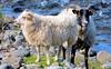 IJslander (Meino NL) Tags: ijslanderschaap noordsekortstaartschapen schaap sheep icelandicsheep ovisaries northerneuropeanshorttailed iceland ijsland animal