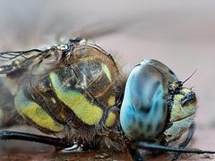 Dragonfly (Meinersmann, Thomas) Tags: olympus omdem5markii dragonfly libelle natur macrozuiko60mm128 macrounlimited makro focusstacking thomasmeinersmann