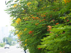 Faux Autumn (Blue Nozomi) Tags: aki autumn fall manila philippines plant flower red yellow green