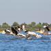 Pelicans, Danube Delta, Romania