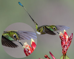 Hummingbird Flower Mites (Andy Morffew) Tags: hummingbird mites flowermites beak nostrils ecuador bootedrackettail andymorffew morffew inexplore explored