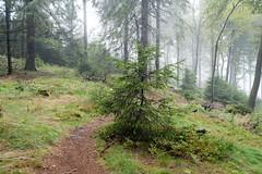 Taunus (Frau Koriander) Tags: light licht fog foggy nebel taunus feldberg groserfeldberg nikond750 nikkor35mmf2d 35mm wald woods forest nature natur landscape nadelbaum weg path hang regen rain mood stimmung forestpath