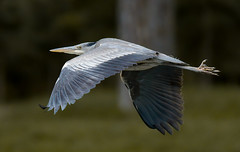 a Heron in flight (Franck Zumella) Tags: sky bird fly flying flight vol sat oiseau vite voler wood blue tree heron nature animal forest sony great ciel foret arbre bois bif gbh a7s tamron a7 150600