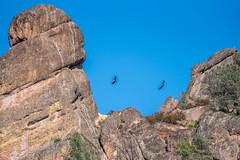 Condors over the High Peaks (SBGrad) Tags: 200500mmf56e 2019 alr california californiacondor d750 gymnogypscalifornianus highpeaks nikon nikor pinnacles pinnaclesnationalpark bird condor wildlife