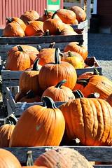 PLENTY O' PUMPKINS (MIKECNY) Tags: pumpkin box ellmsfamilyfarm orange fall