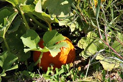 FALL SCENE (MIKECNY) Tags: pumpkin vine pumpkinpatch leaf fall grow ellmsfamilyfarm