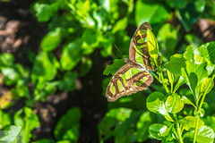Camoflage (Wycpl) Tags: butterfly green jcpphotography