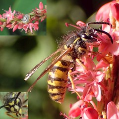 Side Effects. Wasp on Red Bistort and a Grove Snail, Hortus Botanicus, Amsterdam, The Netherlands (Rana Pipiens) Tags: wasp insect honeybee seed pollen olymp hoverfly polygonumamplexicaule redbistort nectar flower capillaryaction sugar larvae grovesnail pollination