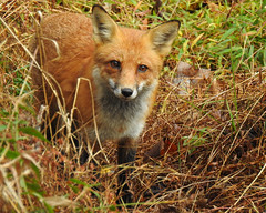 Well, Hello There (annette.allor) Tags: redfox vulpes woods closeup nature beauty wildlife vulpesvulpes fox