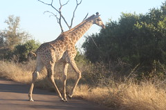 Giraffe Crossing (Rckr88) Tags: krugernationalpark southafrica kruger national park south africa giraffe crossing giraffecrossing giraffes animals animal road roads nature naturalworld outdoors wilderness wildlife