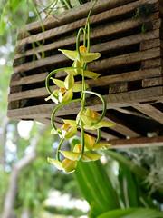 Gongora galeata var. luteola species orchid (nolehace) Tags: gongora galeata var luteola species orchid 919 fall nolehace sanfrancisco fz1000 flower bloom plant