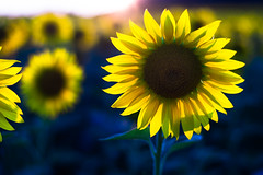 Sunflower (Theo Crazzolara) Tags: sunflower sun flower sunset sunrise blossom autumn fall nature natural scenic yellow beautiful garden field agriculture sonnenblume thanksgiving halloween erntedank outside