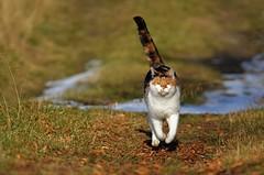You called?? Here I am...... (KvikneFoto) Tags: katt cat tamron nikon bokeh åsta