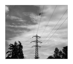 bird of prey (Armin Fuchs) Tags: arminfuchs nomansland birdofprey bird trees sky clouds diagonal niftyfifty cables 6x7 anonymousvisitor thomaslistl wolfiwolf jazzinbaggies