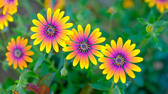 20191002-Südafrika_XT2-1398 (1961_Martin) Tags: stellenbosch westkap südafrika blüten