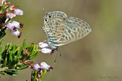 En el brezo (ajmtster) Tags: macrofotografía macro insecto insectos mariposa mariposas lepidopteros lycaenidae licenidos leptotespirithous leptotes pirithous reverso amt butterfly butterflies papillon farfalle brezo