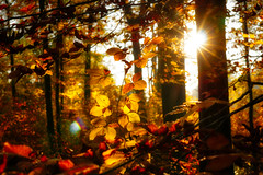 Flooded by the sun (HeiJoWa) Tags: autumn herbst sony alpha alpha6000 6000 a6000 saarland deutschland herrnergal 7artisans 55mmf14 primelens manual forest woods wald gehölz warm sunny light rays star stern licht sonnenstrahlen blendenstern bright hell fall