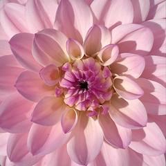 Dahlia macro (__ PeterCH51 __) Tags: dahlia dalia dahlie macro makro closeup pink flower pinkflower villataranto botanicalgardens giardinibotanicivillataranto verbania italy italia square iphone peterch51