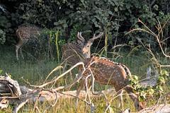 Cerf axis de Ceylan (Olivier Simard Photographie) Tags: wilpattunationalpark cerf daim deer animal faunesauvage cervidé srilanka forêt safari wildlife mammifère