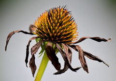 End Of Summer #2 (Andre Denis) Tags: flora decay ontario macro nikon d750 nature stilllife still life