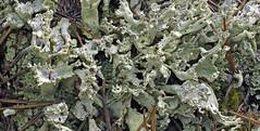 Cladonia multiformis (wanderflechten) Tags: cladoniamultiformis cladonia